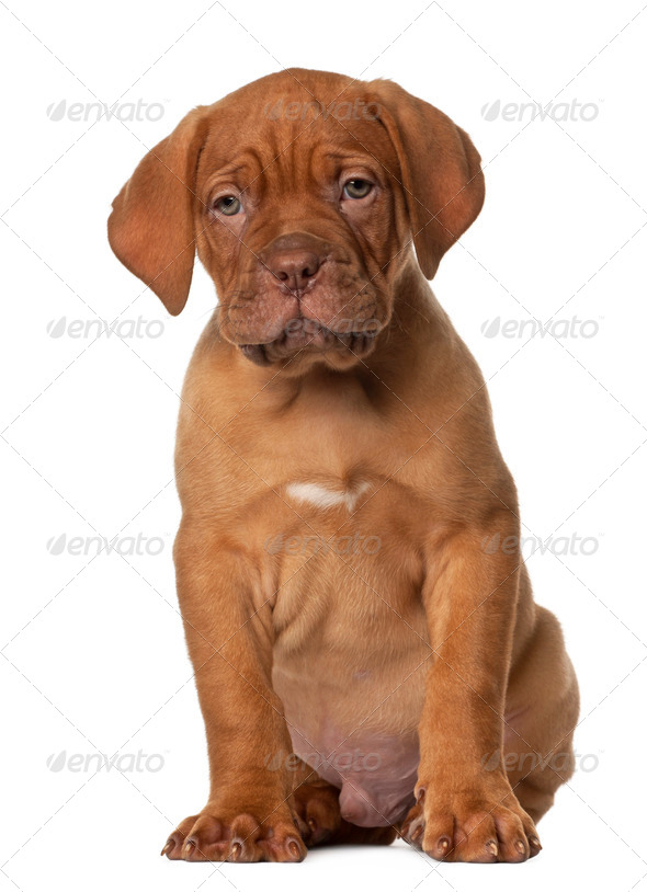Dogue de Bordeaux puppy, 8 weeks old, sitting in front of white background - Stock Photo - Images