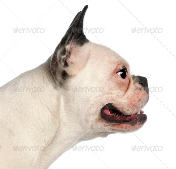 Close up of French Bulldog, 11 months old, in front of white background - Stock Photo - Images