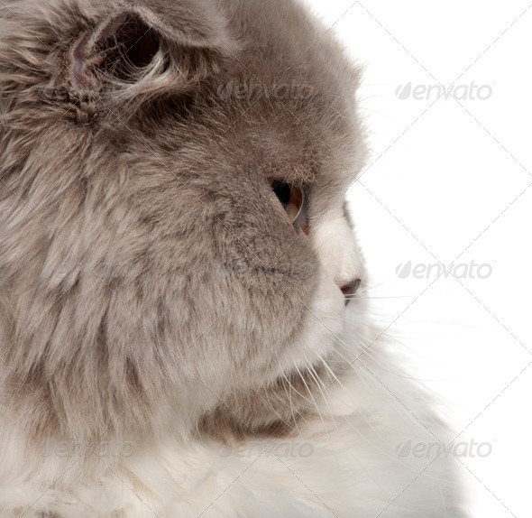 Close up of British Shorthair cat, 6 months old, in front of white background - Stock Photo - Images
