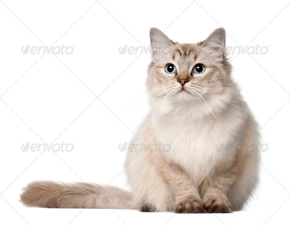 Ragdoll cat, 10 months old, sitting in front of white background - Stock Photo - Images