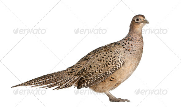 Portrait of Female Golden Pheasant or 'Chinese Pheasant', Chrysolophus pictus, - Stock Photo - Images