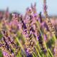 Close up of lavender plant near Puimoisson, Provence, France - PhotoDune Item for Sale