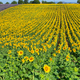 Sunflowers field and lavender field near Valensole, Provence, France - PhotoDune Item for Sale