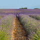 Lavender field in Valensole, Provence, France - PhotoDune Item for Sale