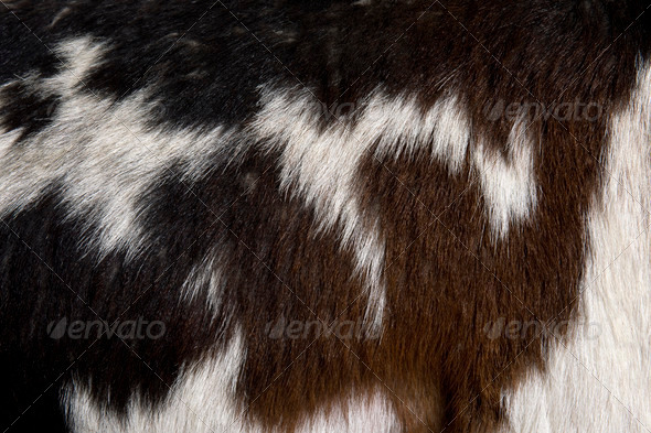 Close-up of Rove goat fur, full frame - Stock Photo - Images