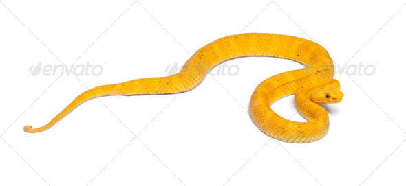 Yellow Eyelash Viper - Bothriechis schlegelii, poisonous, white background - Stock Photo - Images