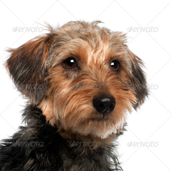Close up of Dachshund, 10 months old, in front of white background - Stock Photo - Images