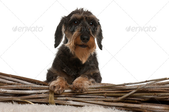 Dachshund, 8 years old, in front of white background - Stock Photo - Images