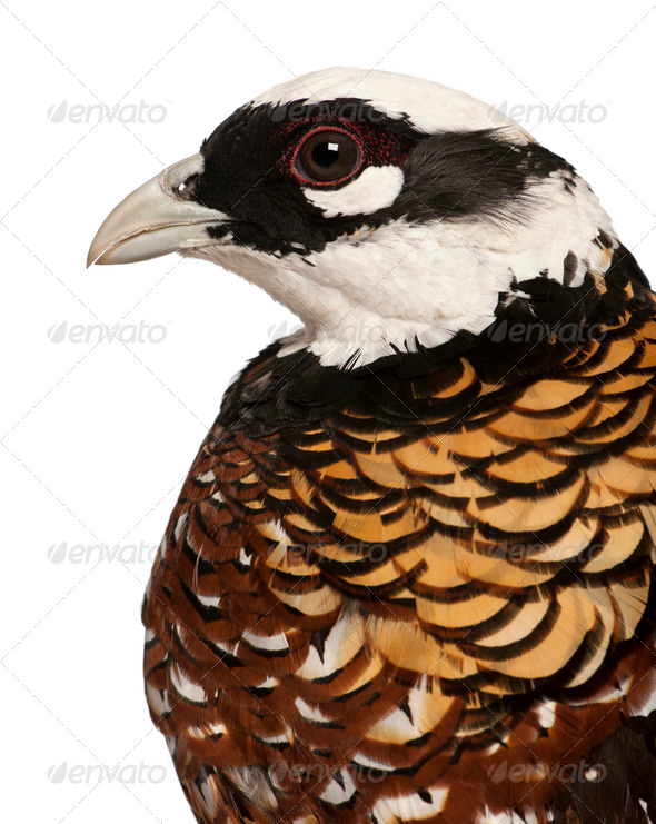 Close up of Male Reeves's Pheasant, Syrmaticus reevesii, profile, in front of white background - Stock Photo - Images