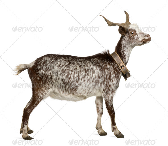 Female Rove goat, 3 years old, standing in front of white background - Stock Photo - Images