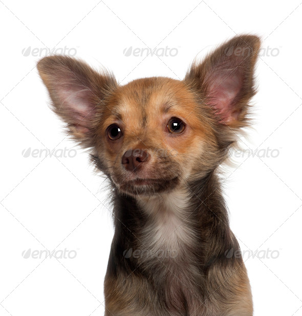 Close up of Chihuahua puppy, 5 months old, in front of white background - Stock Photo - Images