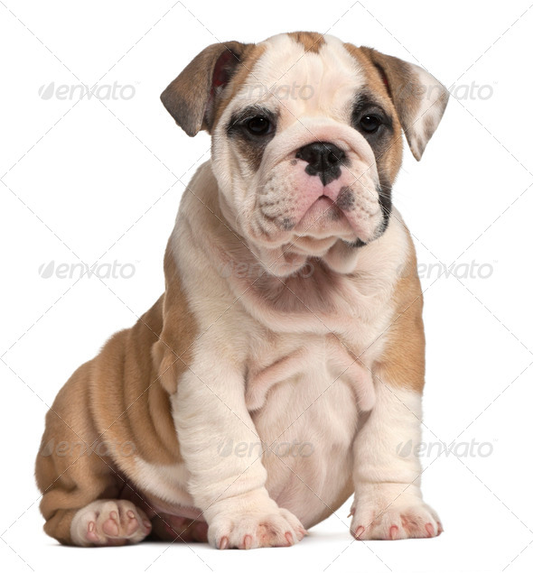 English Bulldog puppy Sitting, 2 months old - Stock Photo - Images