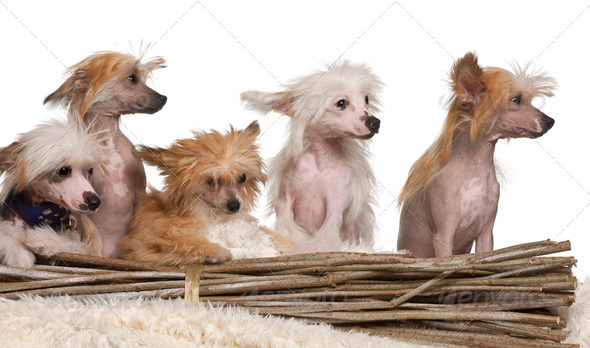 Chinese Crested Dog puppies, 4 months old, in front of white background