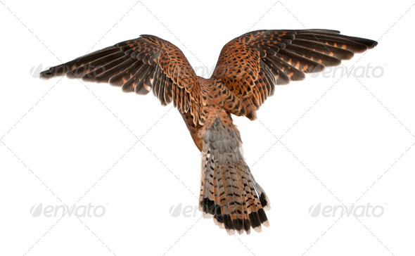 Common Kestrel, Falco tinnunculus, flying in front of white background - Stock Photo - Images