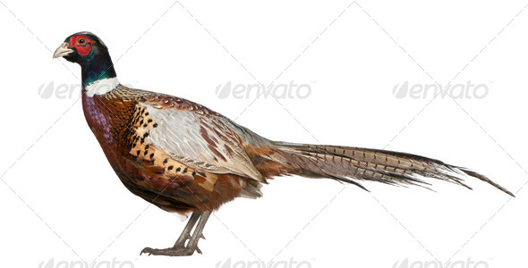 Male American Common Pheasant, Phasianus colchicus, standing in front of white background - Stock Photo - Images