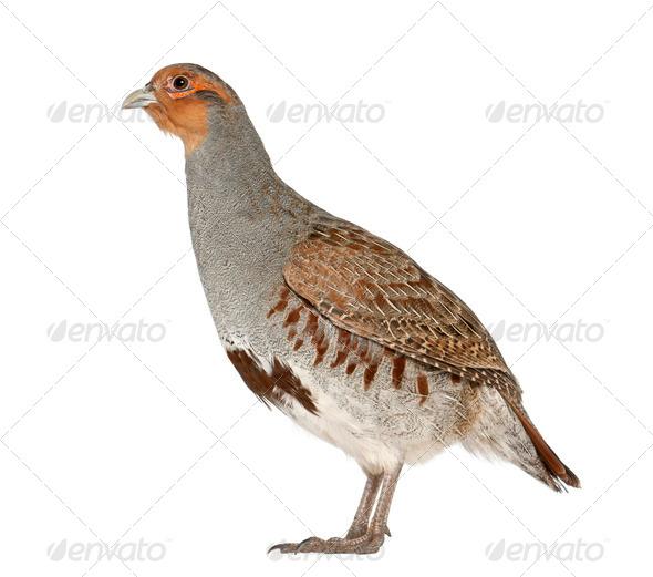 Grey Partridge, Perdix perdix, also known as the English Partridge, Hungarian Partridge, or Hun - Stock Photo - Images