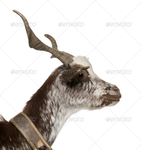 Close-up profile of female Rove goat, 3 years old, standing in front of white background - Stock Photo - Images