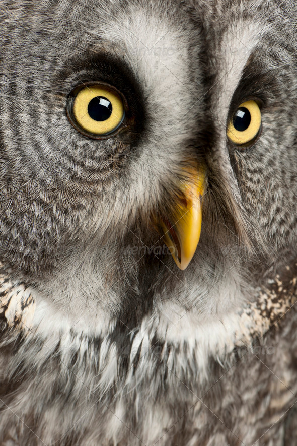 Portrait of Great Grey Owl or Lapland Owl, Strix nebulosa, a very large owl - Stock Photo - Images