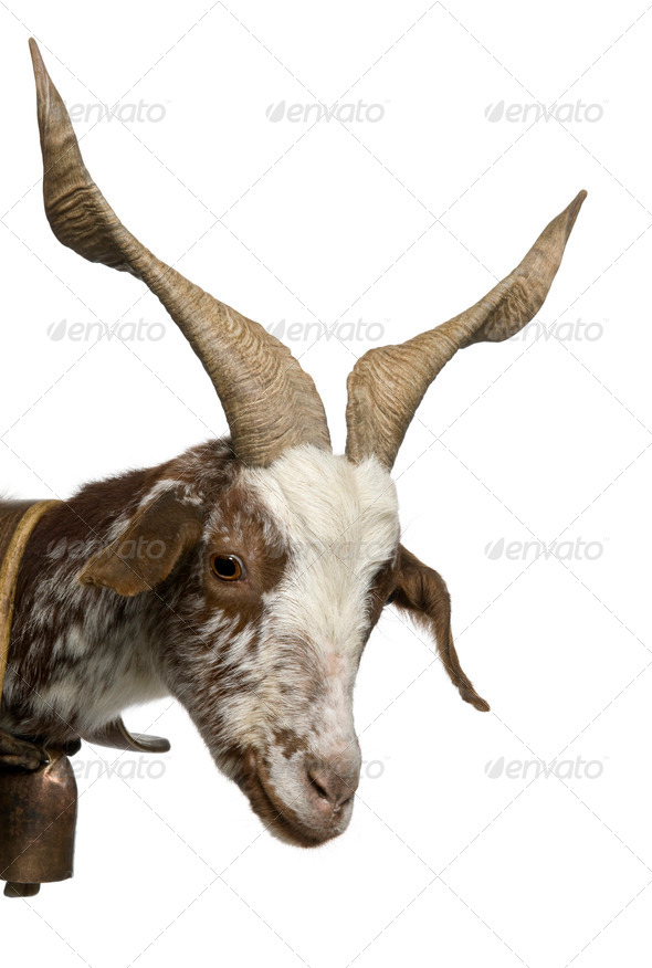 Close-up of female Rove goat, 3 years old, standing in front of white background - Stock Photo - Images
