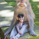 Long-tailed Macaque With Baby - PhotoDune Item for Sale