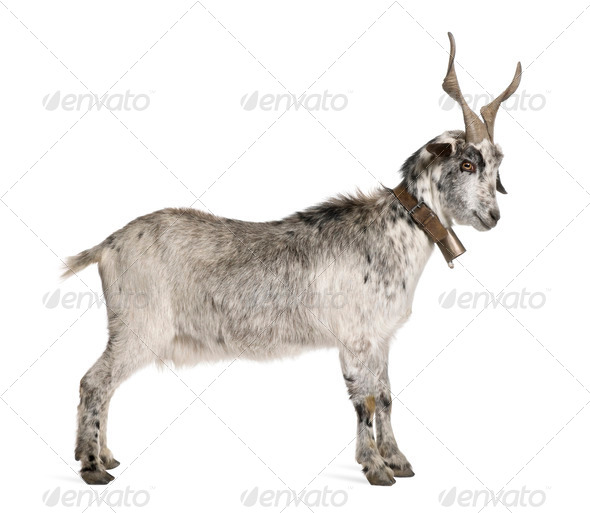 Rove goat, 5 years old, standing in front of white background - Stock Photo - Images