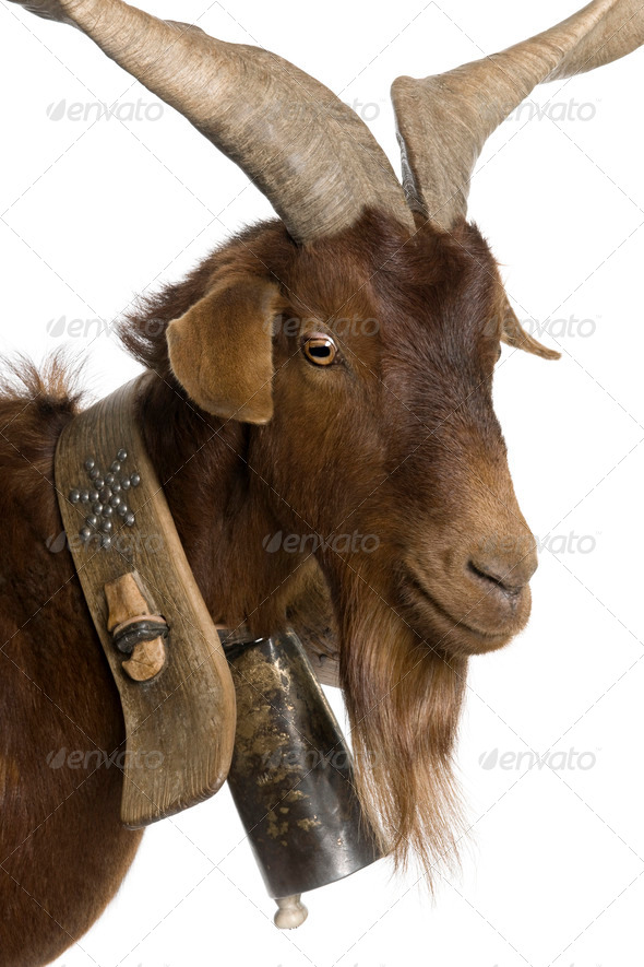 Close-up headshot of Rove goat, 6 years old, in front of white background - Stock Photo - Images