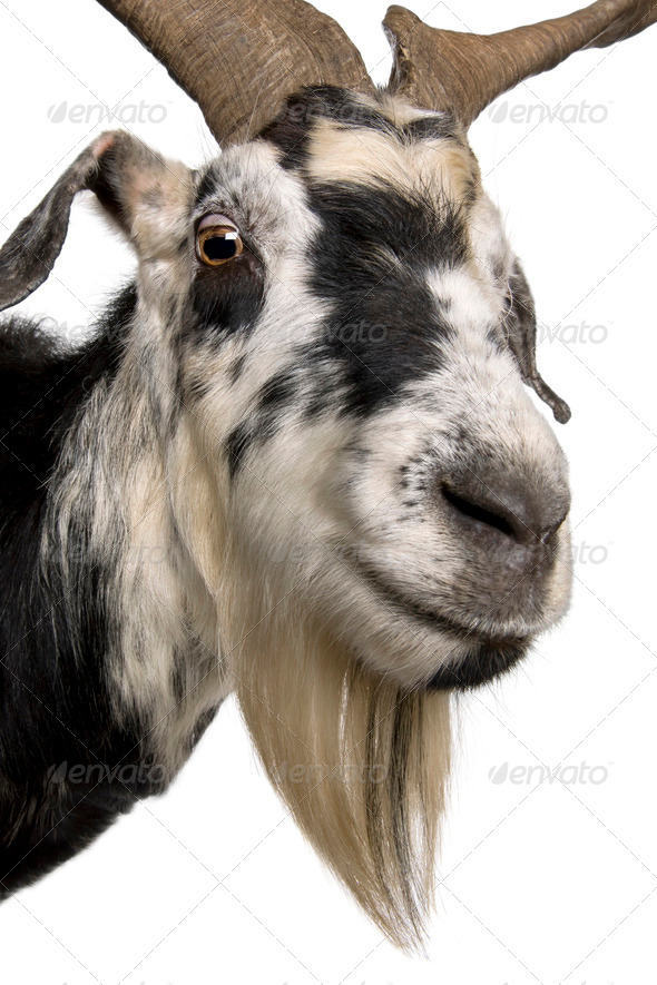 Close-up headshot of Rove goat, 5 years old, standing in front of white background - Stock Photo - Images