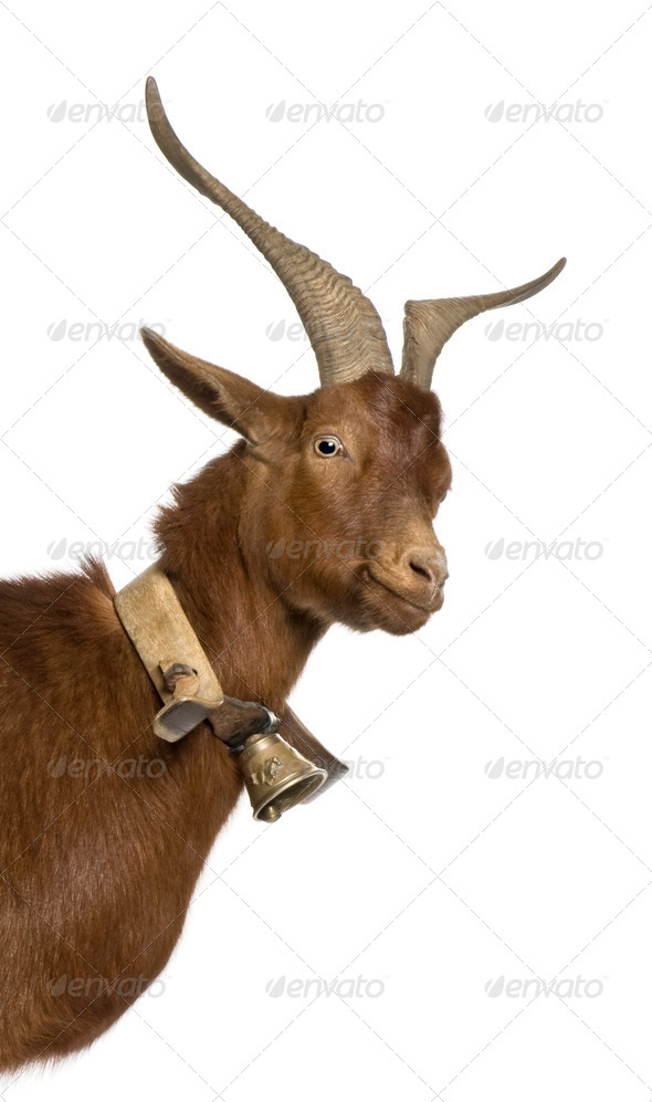 Close-up headshot of Rove goat, 4 years old, standing in front of white background - Stock Photo - Images