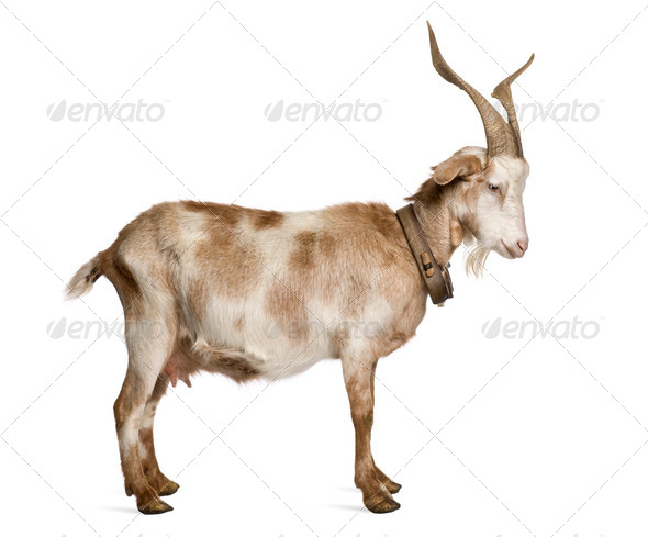 Female Rove goat standing in front of white background - Stock Photo - Images
