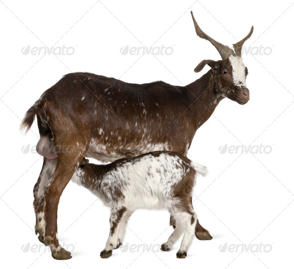 Female Rove goat with young goat drinking underneath in front of white background - Stock Photo - Images