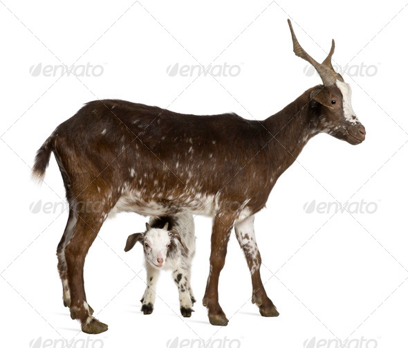 Female Rove goat with kid standing in front of white background - Stock Photo - Images