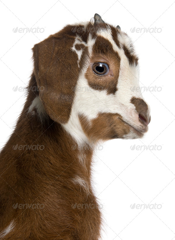 Close-up headshot Rove goat kid, 3 weeks old, in front of white background - Stock Photo - Images