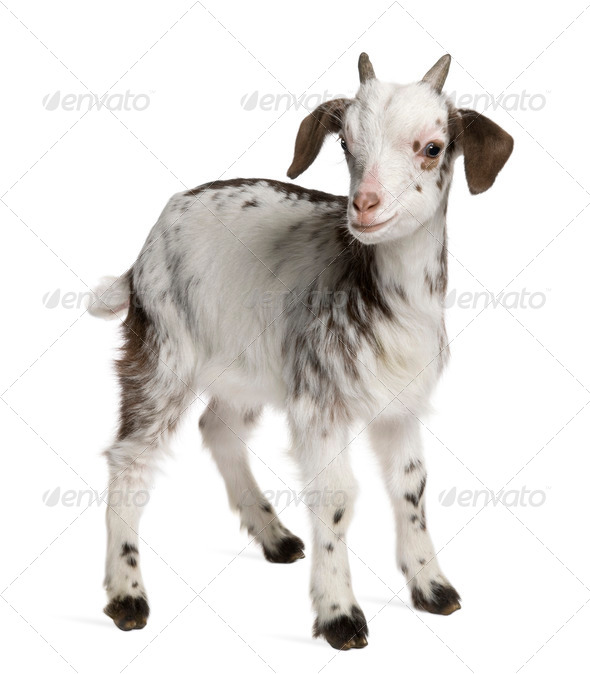 Rove goat Kid, 1 month old, standing in front of white background - Stock Photo - Images