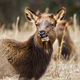 Elk Cow - PhotoDune Item for Sale