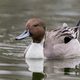 Northern Pintail Duck - PhotoDune Item for Sale