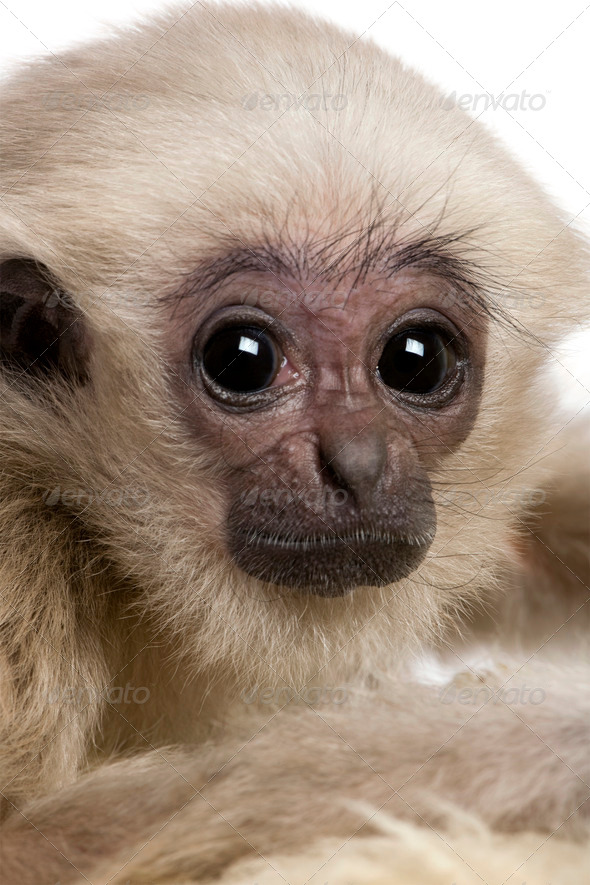 Close-up headshot of young Pileated Gibbon, 4 months old, in front of white background - Stock Photo - Images