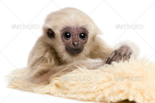 Young Pileated Gibbon, 4 months old, in front of white background - Stock Photo - Images