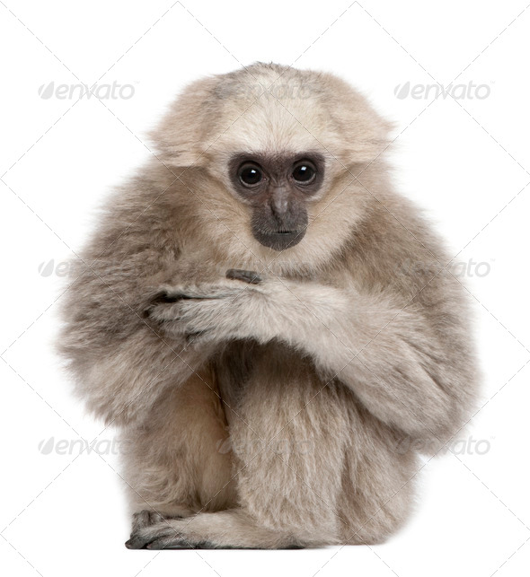 Young Pileated Gibbon, 1 year, Hylobates Pileatus, sitting in front of white background - Stock Photo - Images