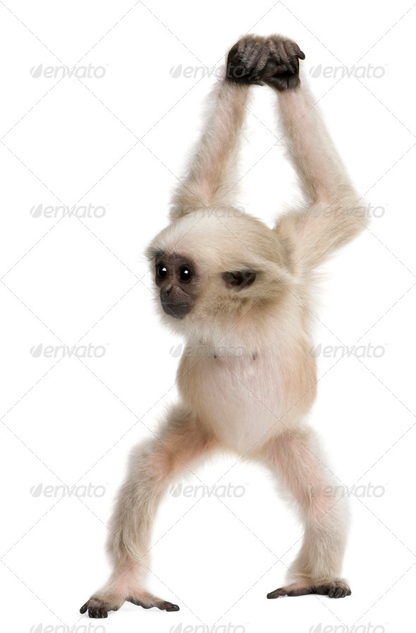 Young Pileated Gibbon, 4 months old, Hylobates Pileatus, walking in front of white background - Stock Photo - Images