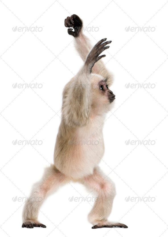 Young Pileated Gibbon, 4 months old, standing in front of white background - Stock Photo - Images