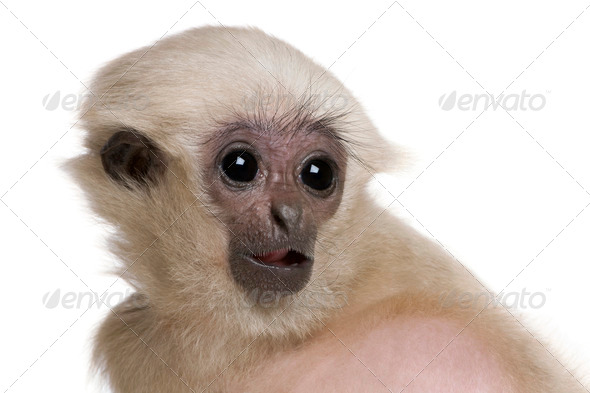 Young Pileated Gibbon, 4 months old, Hylobates Pileatus, in front of white background - Stock Photo - Images