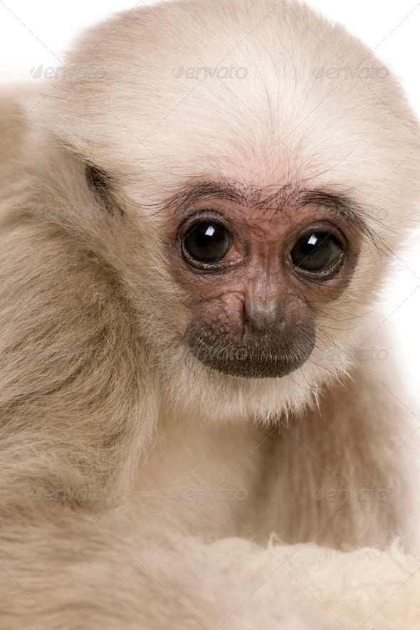 Young Pileated Gibbon, Hylobates Pileatus, 4 months old, in front of white background - Stock Photo - Images