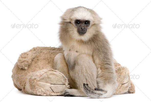 Portrait of young Pileated Gibbon, 1 year old, in front of white background - Stock Photo - Images