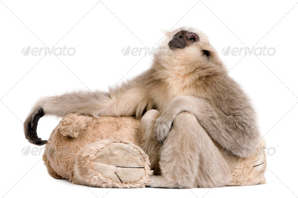 Young Pileated Gibbon, 4 months old, looking up in front of white background - Stock Photo - Images