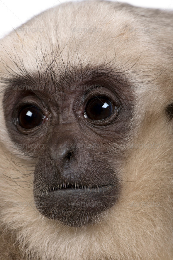 Close-up of Young Pileated Gibbon, 1 year , Hylobates Pileatus, in front of white background - Stock Photo - Images
