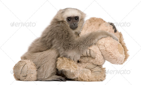 Young Pileated Gibbon, 4 months old, with stuffed toy in front of white background - Stock Photo - Images
