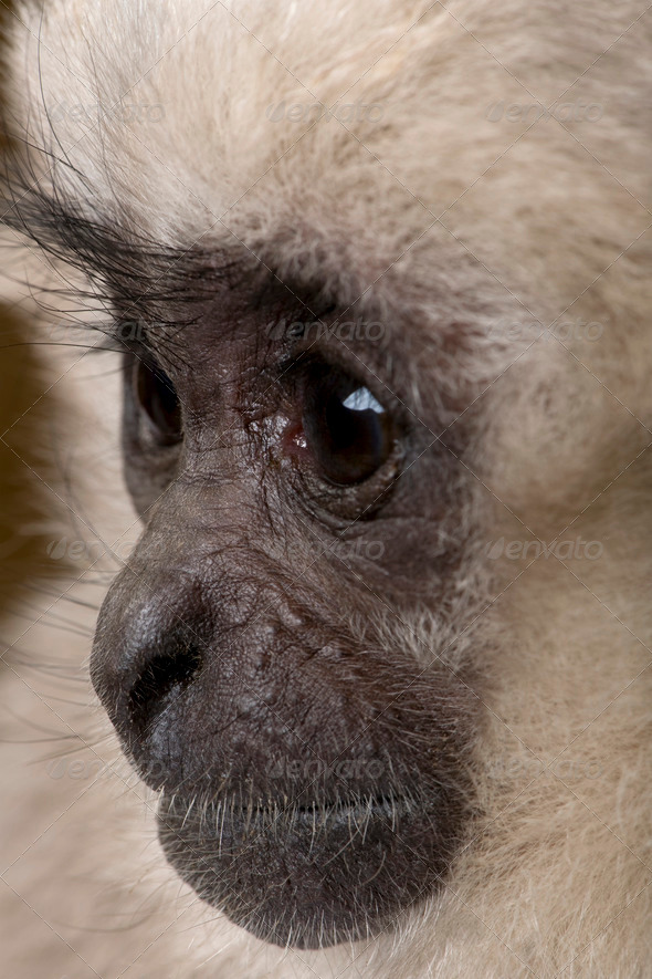 Close-up of Young Pileated Gibbon, 1 year , Hylobates Pileatus - Stock Photo - Images