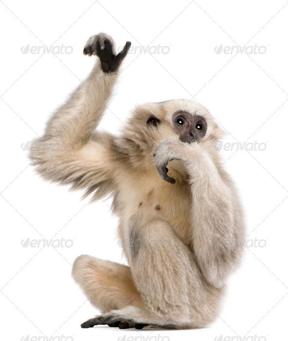 Young Pileated Gibbon, 1 year old, Hylobates Pileatus, sitting in front of white background - Stock Photo - Images