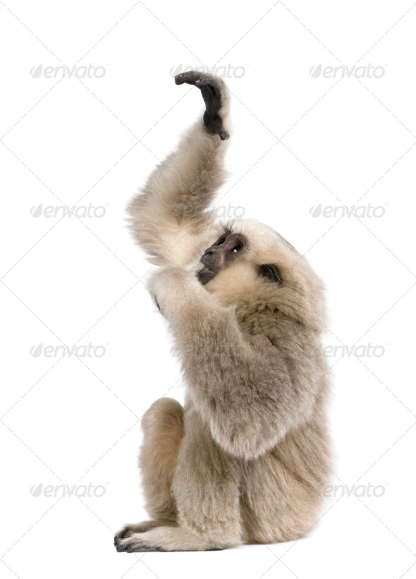 Young Pileated Gibbon, 4 months old, reaching up in front of white background - Stock Photo - Images