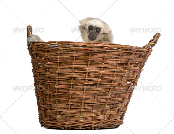 Young Pileated Gibbon, 1 year old, Hylobates Pileatus, sitting in basket front of white background - Stock Photo - Images